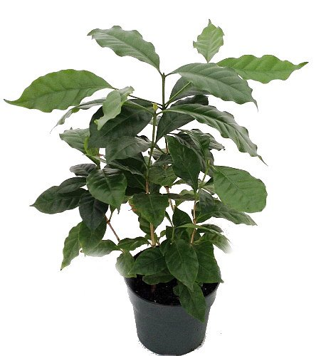 گیاه قهوه عربیکا یک پشنهاد عالی به عاشقان قهوه