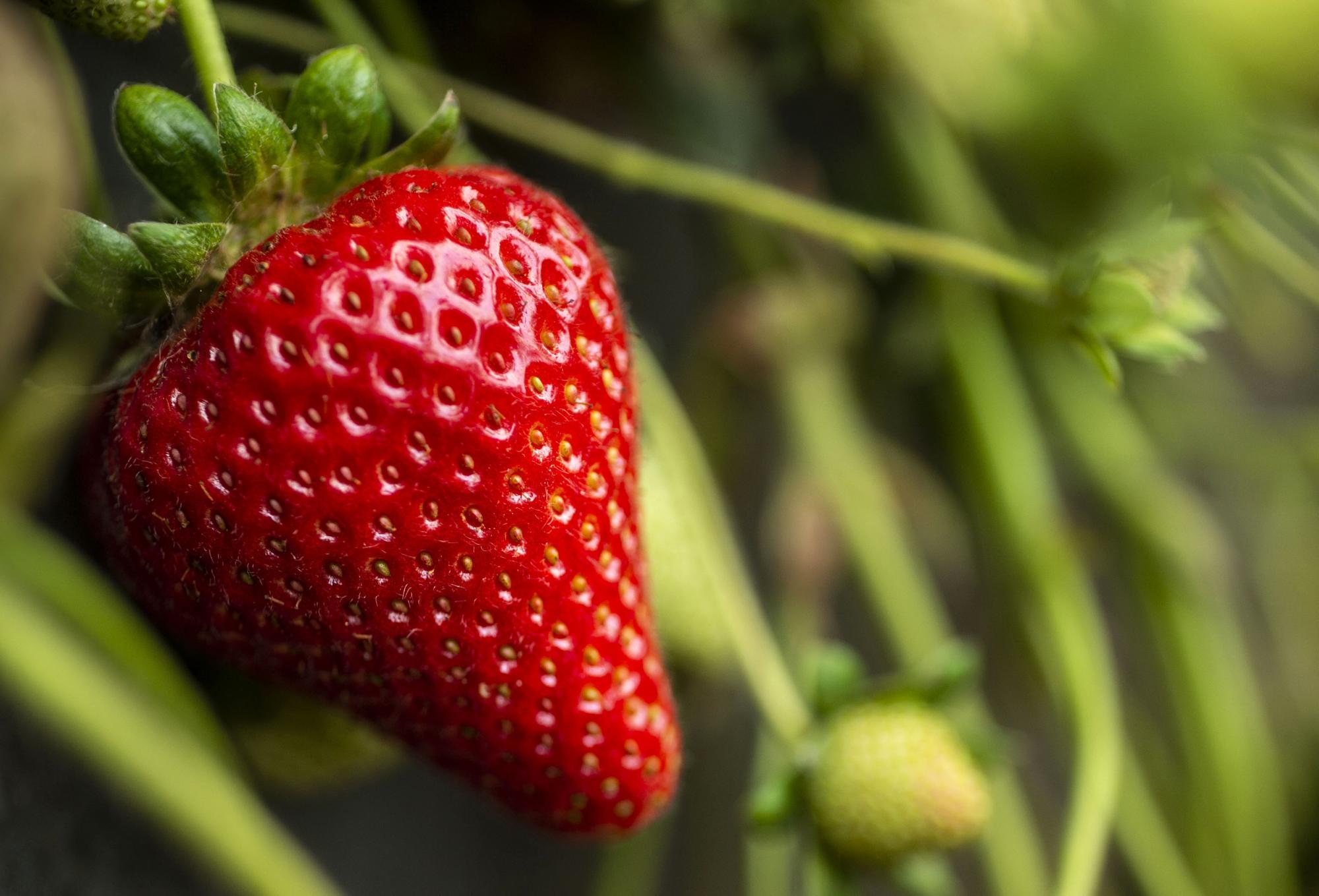 معرفی میوه های قرمز ، توت فرنگی، محافظ قلب و تقویت کننده سیستم ایمنی