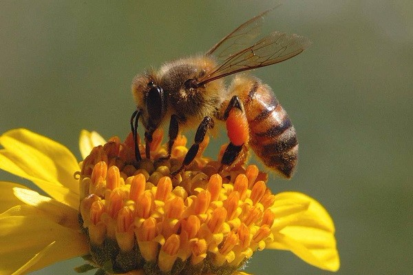 زنبور عسل در رژیم گیاهی