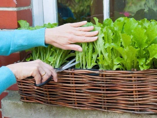 پرورش سبزیجات تازه سالادی