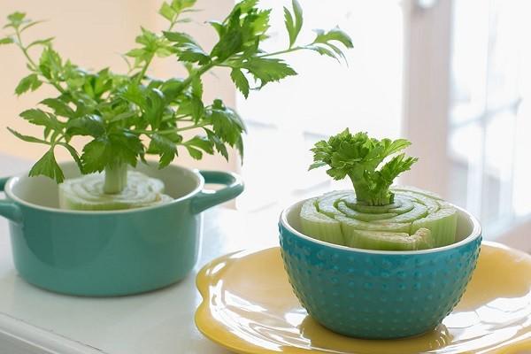 پرورش دوباره گیاهان - کرفس