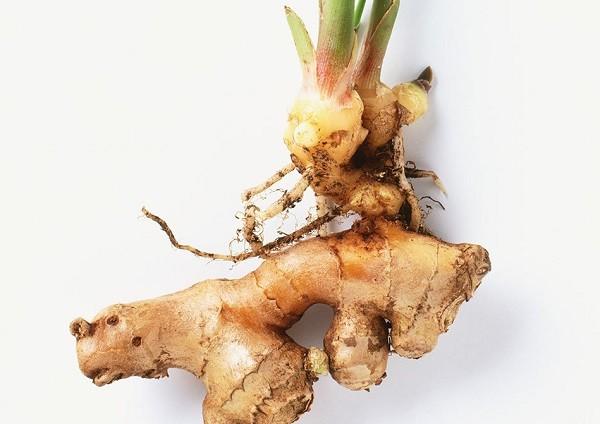 پرورش دوباره گیاهان - زنجبیل