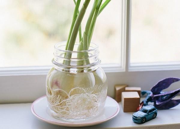 پرورش دوباره گیاهان - پیاز
