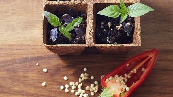 پرورش دوباره گیاهان - فلفل دلمهای