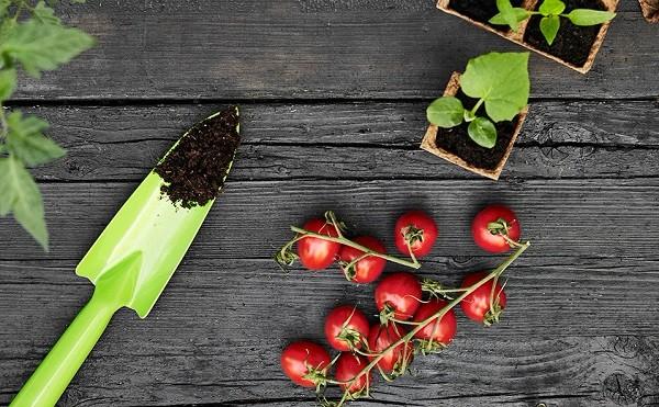 پرورش دوباره گیاهان - گوجه فرنگی